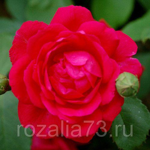 Саженец плетистой розы Пол Скарлет: фото и описание