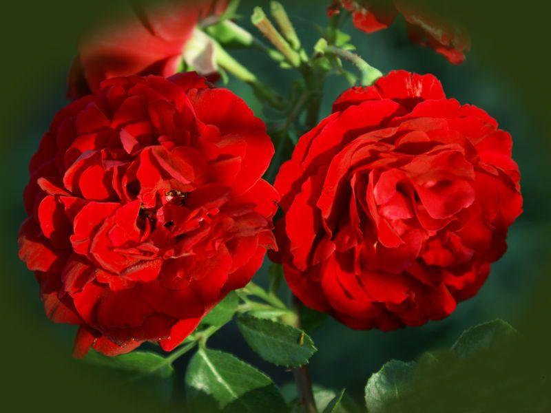 Саженец плетистой розы Сантана: фото и описание