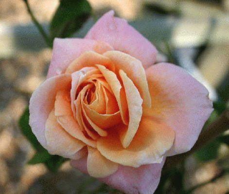 Саженец плетистой розы Скугёрл: фото и описание