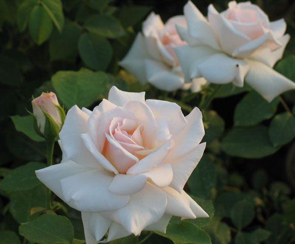 Саженец плетистой розы Сван Лейк: фото и описание