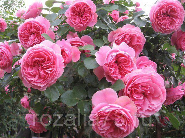 Саженец плетистой розы Жасмина: фото и описание