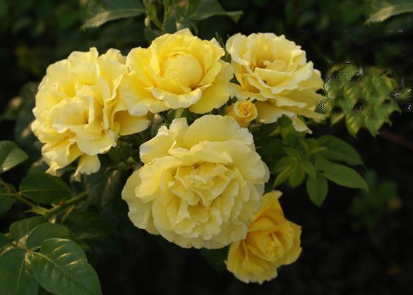 Саженец плетистой розы Золотой Олимп: фото и описание