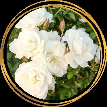 Саженец розы полиантовой Диадэм Уайт: фото и описание