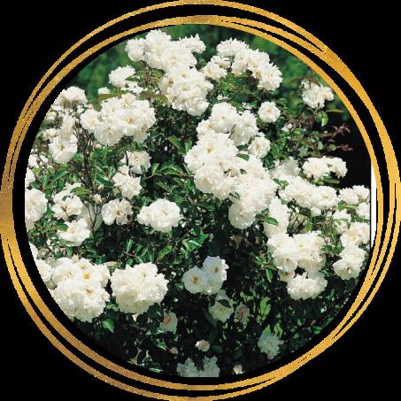 Саженец розы полиантовой Ивонна Райбер (Yvonne Rabier): фото и описание