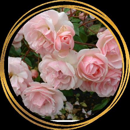 Саженец розы полиантовой Мевьер Натали Нирельс: фото и описание