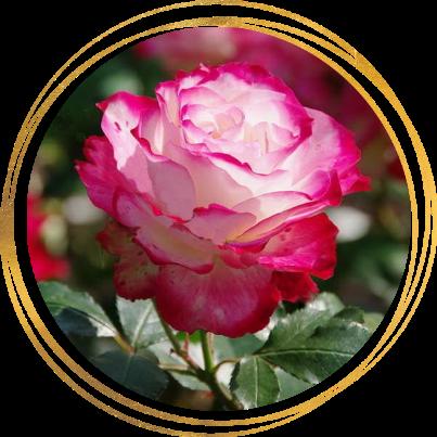 Саженец розы полиантовой Роял Минуэто: фото и описание