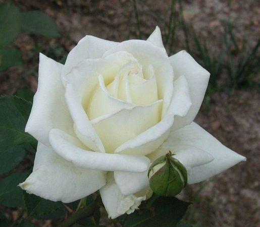 Саженец розы Полярная Звезда-2: фото и описание