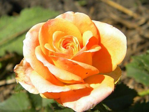 Саженец розы Примадонна: фото и описание