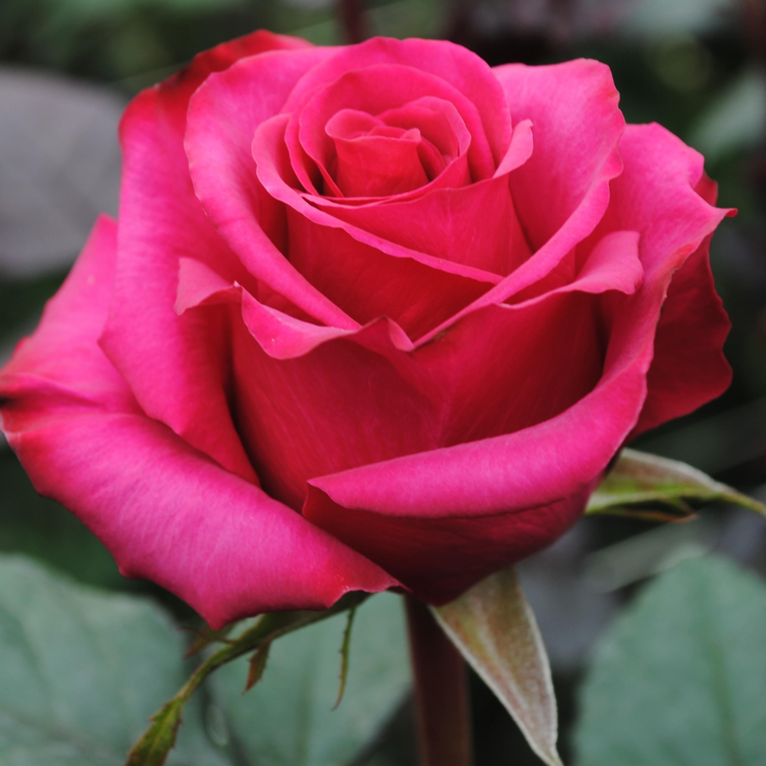 Саженец розы Равель-2: фото и описание