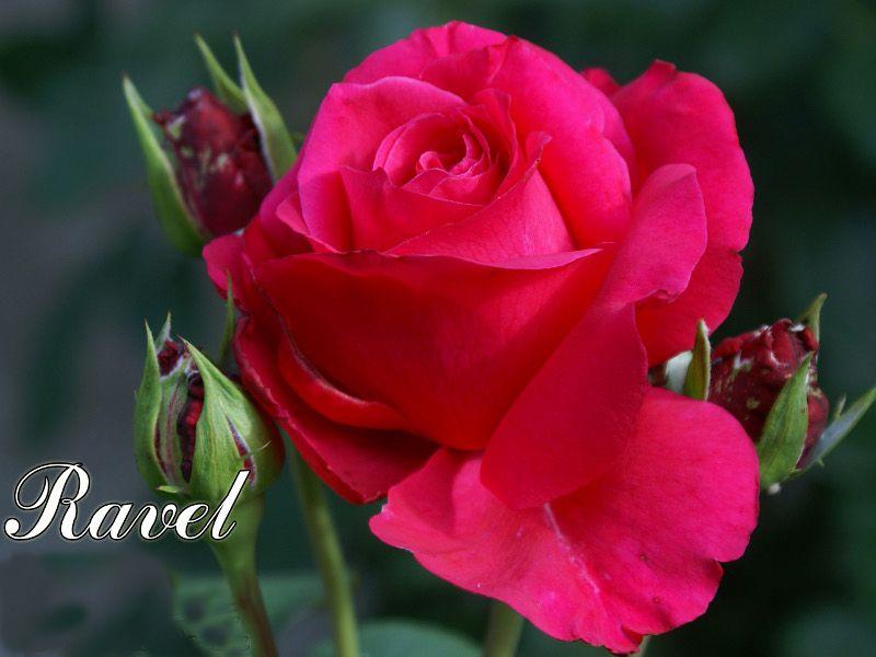 Саженец розы Равель: фото и описание