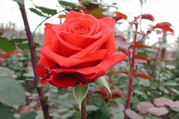 Саженец розы Ред берлин: фото и описание