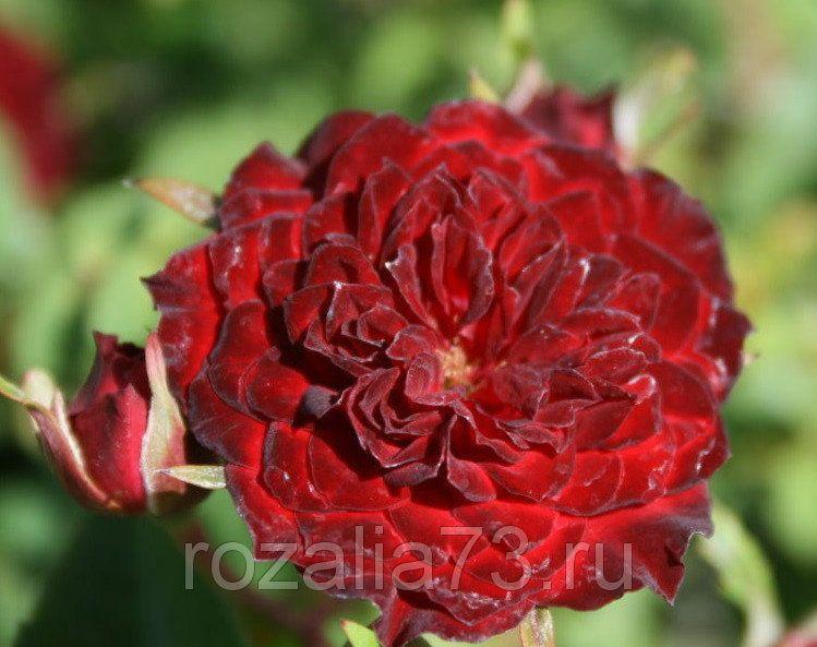 Саженец розы Рэд Каскад: фото и описание