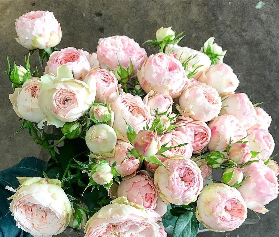 Саженец розы Romantic Pepita (Романтик Пепита): фото и описание