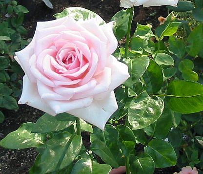 Саженец розы Роял Хагнесс: фото и описание