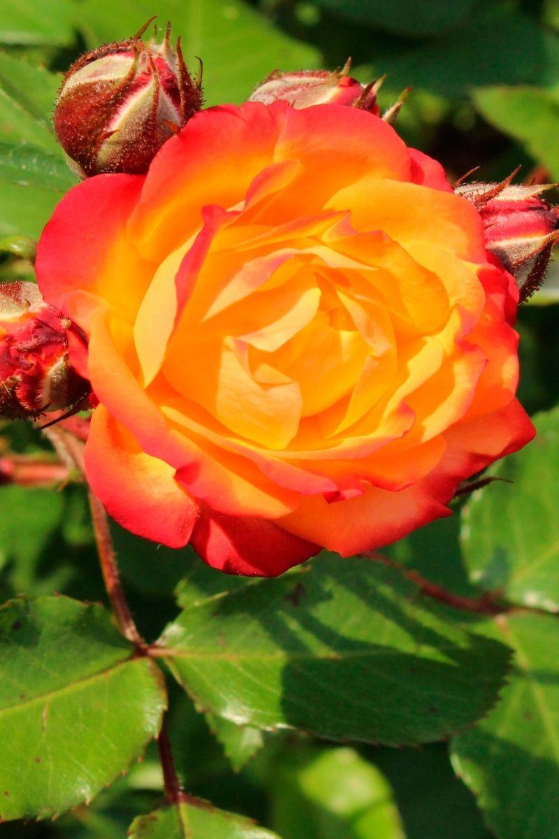 Саженец розы Румба: фото и описание