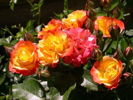 Саженец розы Самба Пати: фото и описание