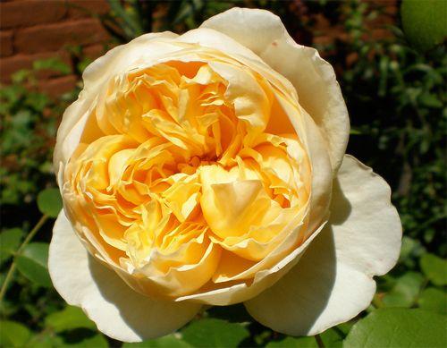Саженец розы Шарлотт (Charlotte): фото и описание