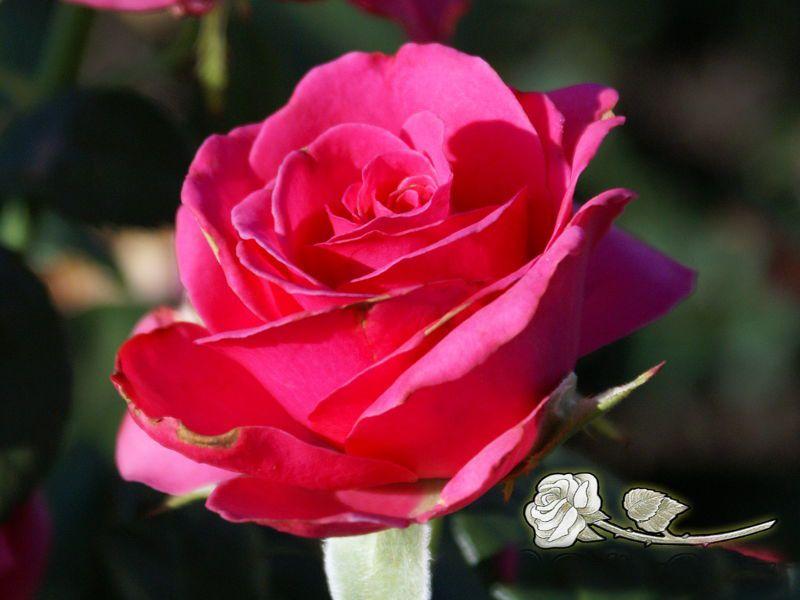 Саженец розы Шокинг Версилия: фото и описание