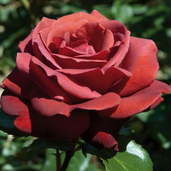 Саженец розы Шоколатина: фото и описание