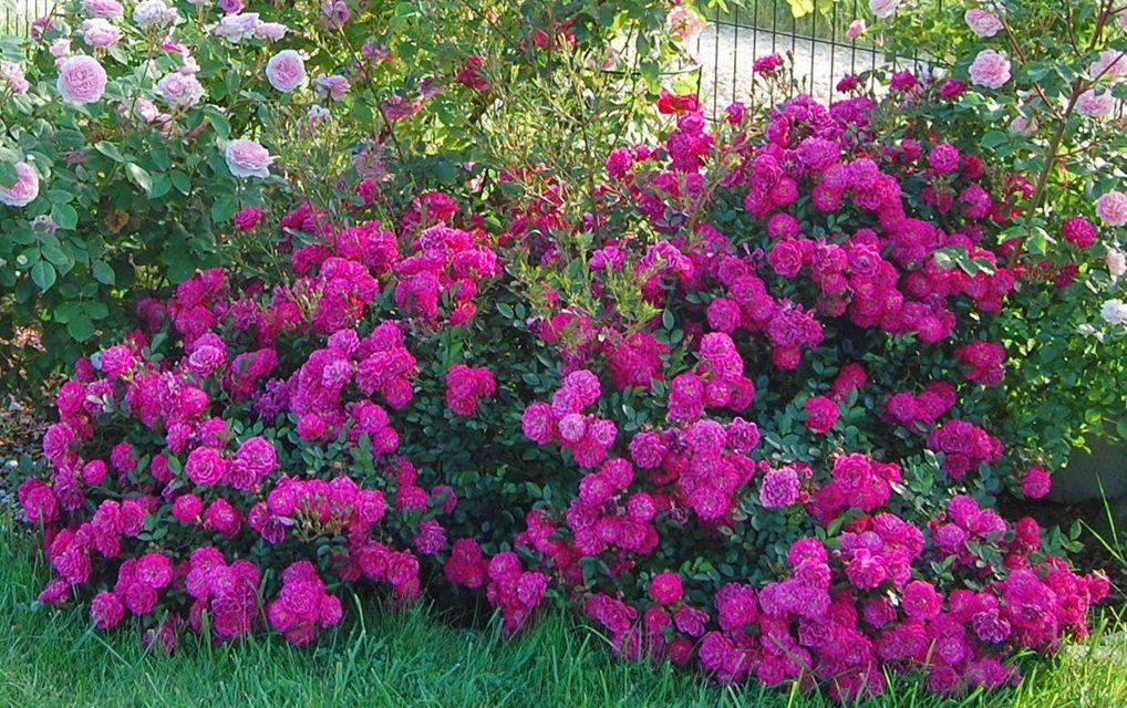 Саженец розы Сиреневый дождь: фото и описание