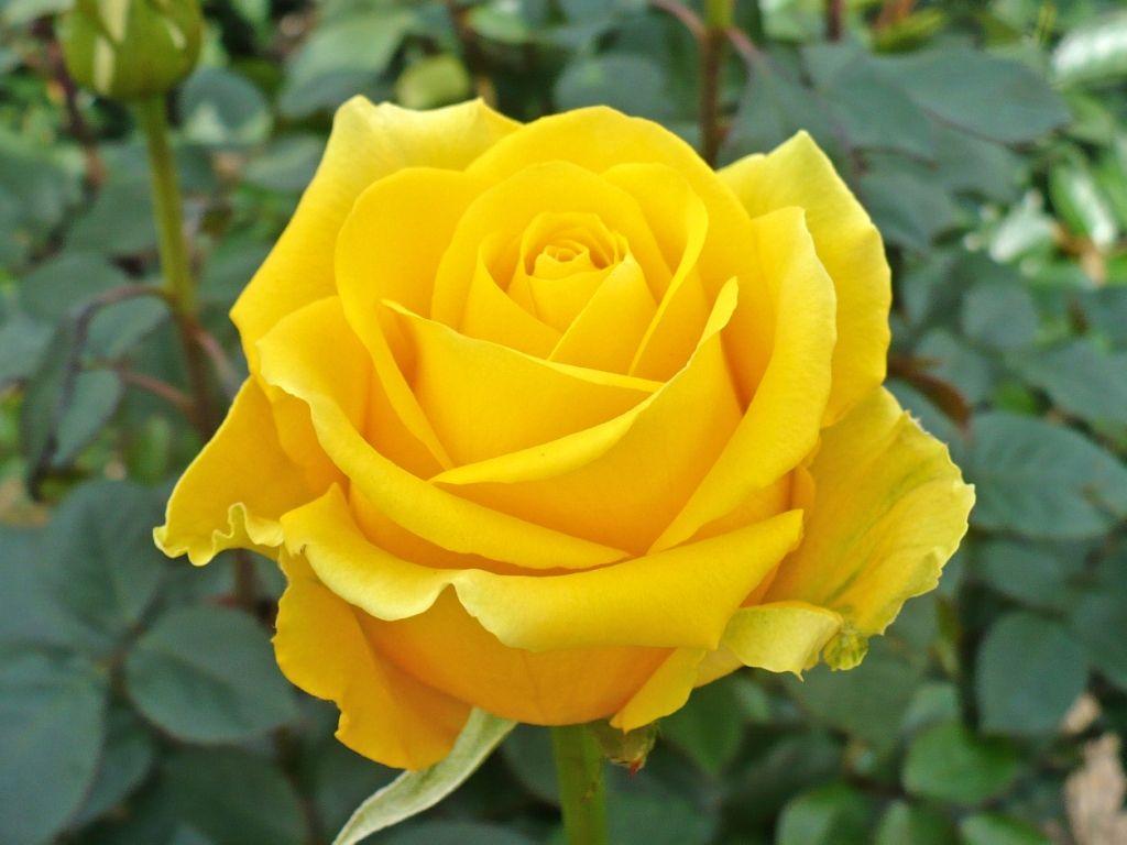 Саженец чайно-гибридной розы Скайлайн: фото и описание