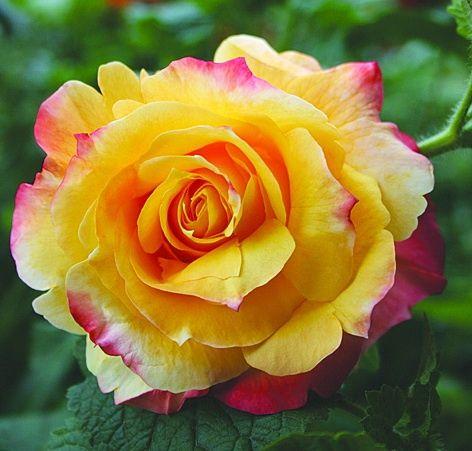 Саженец розы Солидор: фото и описание