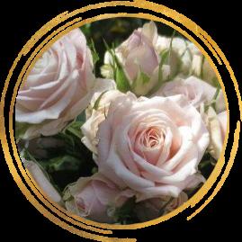 Саженец розы спрей Олеся: фото и описание