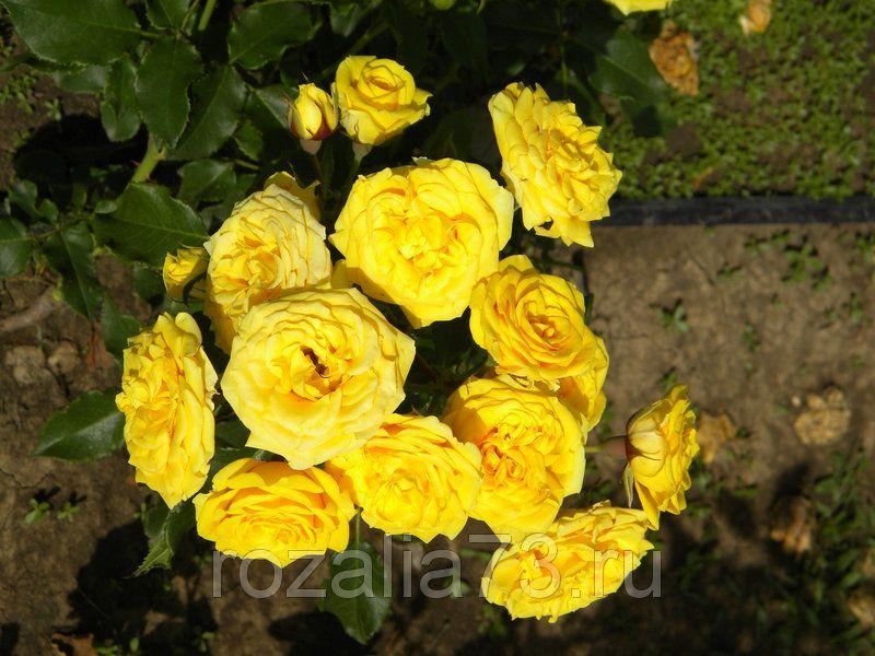 Саженец розы спрей Сан Сити: фото и описание