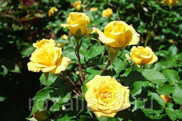 Саженец спрей розы Yellow Baby: фото и описание