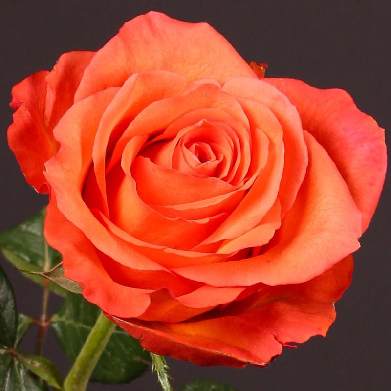 Саженец розы Спутник: фото и описание