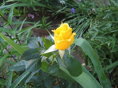 Саженец розы Старлайт: фото и описание