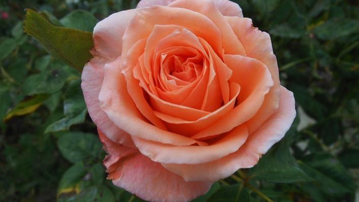 Саженец розы Сусанна: фото и описание