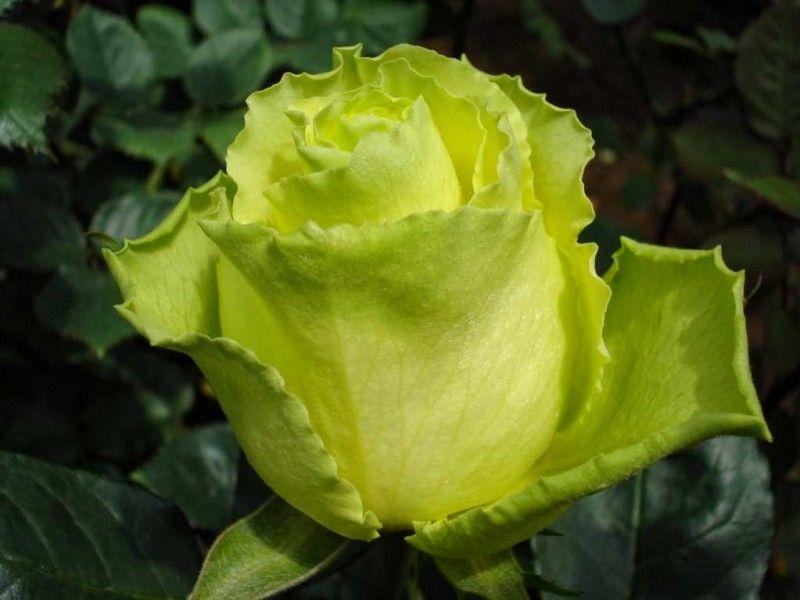 Саженец чайно-гибридной розы Таль: фото и описание