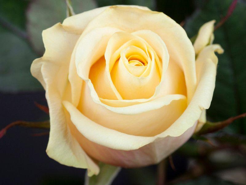 Саженец розы Талея: фото и описание