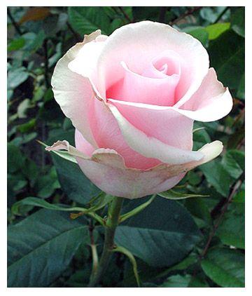 Саженец розы Титаник: фото и описание