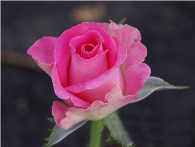 Саженец чайно-гибридной розы Topaz: фото и описание