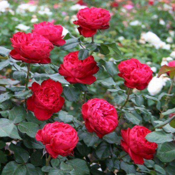 Саженец розы Травиата: фото и описание