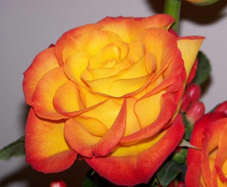 Саженец розы Циркус: фото и описание