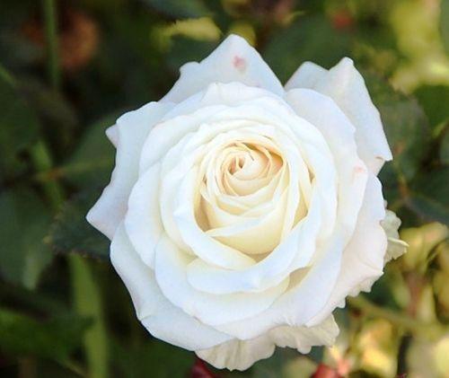Саженец розы Венделла: фото и описание