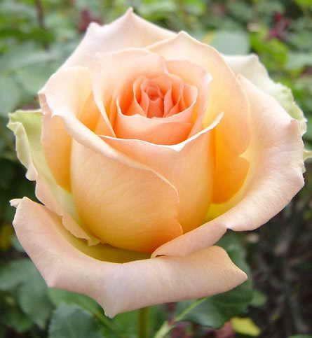 Саженец розы Версилия: фото и описание