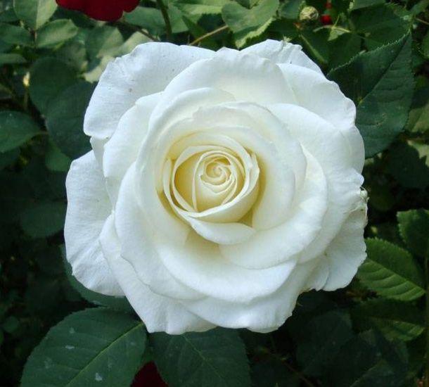 Саженец розы Вирджиния: фото и описание