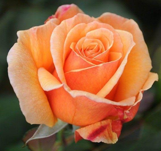 Саженец чайно-гибридной розы Voodoo-Вуду: фото и описание