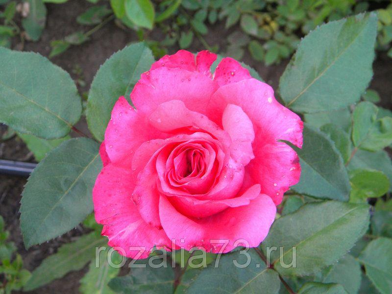 Саженец розы Высоцкого или ВенСаженец розы: фото и описание