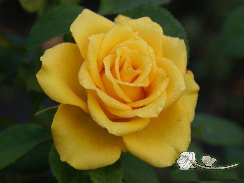 Саженец розы Yellow Sun: фото и описание