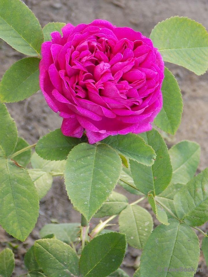 Саженец розы Жанна Д`арк: фото и описание