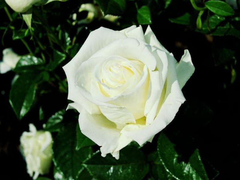 Саженец чайно-гибридной розы Жанна Моро (Jeanne Moreau): фото и описание