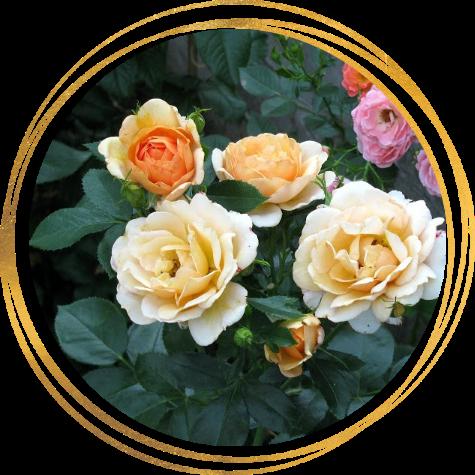 Саженец шраб розы Зорба: фото и описание