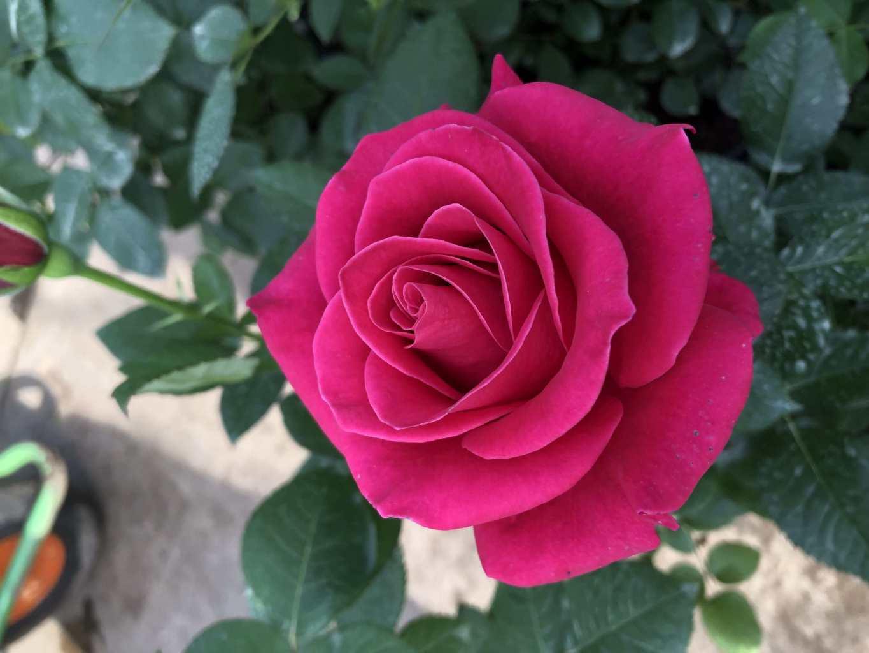 Саженец розы Шакира: фото и описание