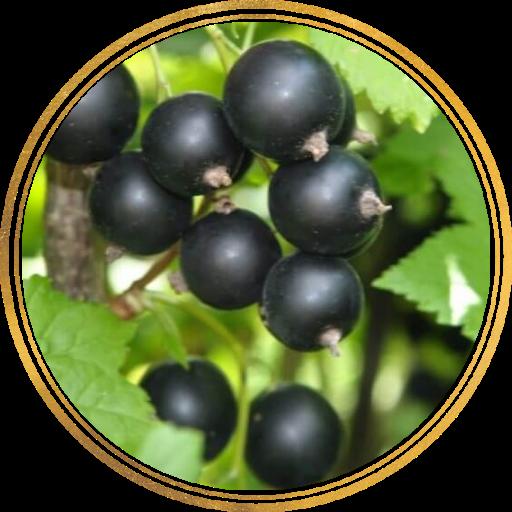 Саженцы черной смородины оптом: фото и описание