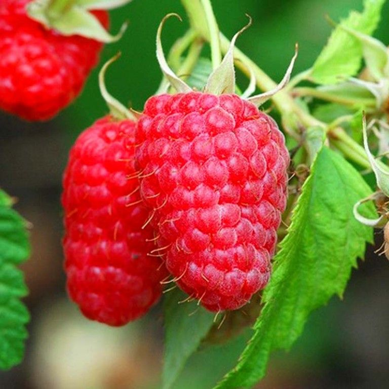 Саженец штамбовой малины Крепыш: фото и описание